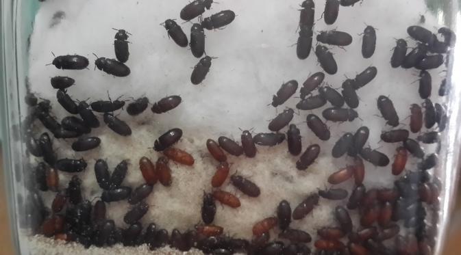 Manfaat hebat Semut Jepang