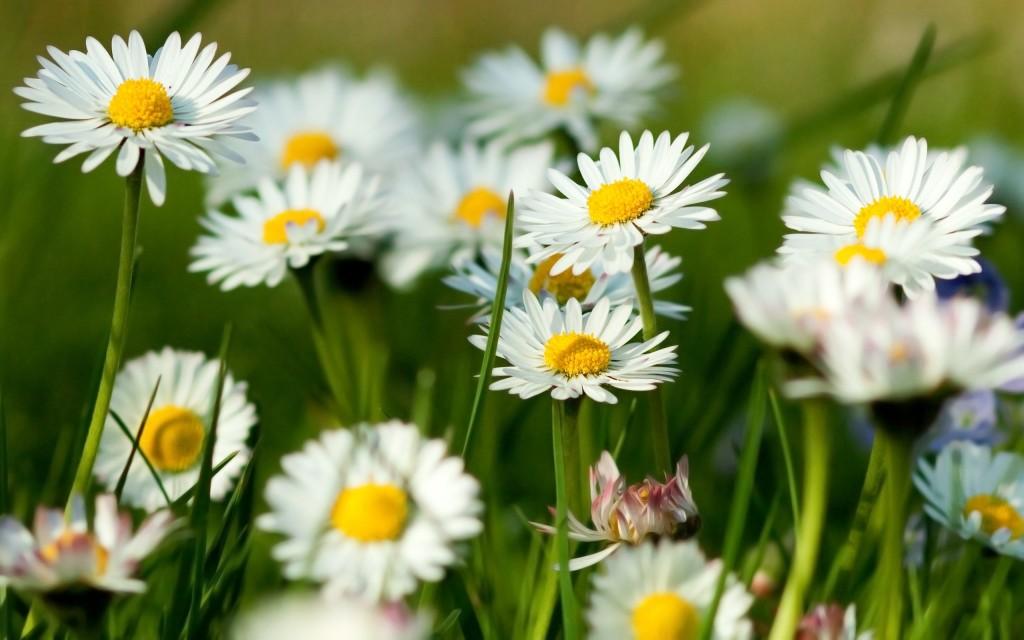 chamomile-flowers-summer-grass-herbs1st
