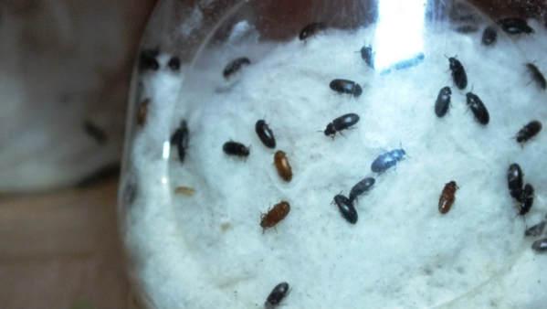 Ada 3 cara makan atau mengkonsumsi semut jepang